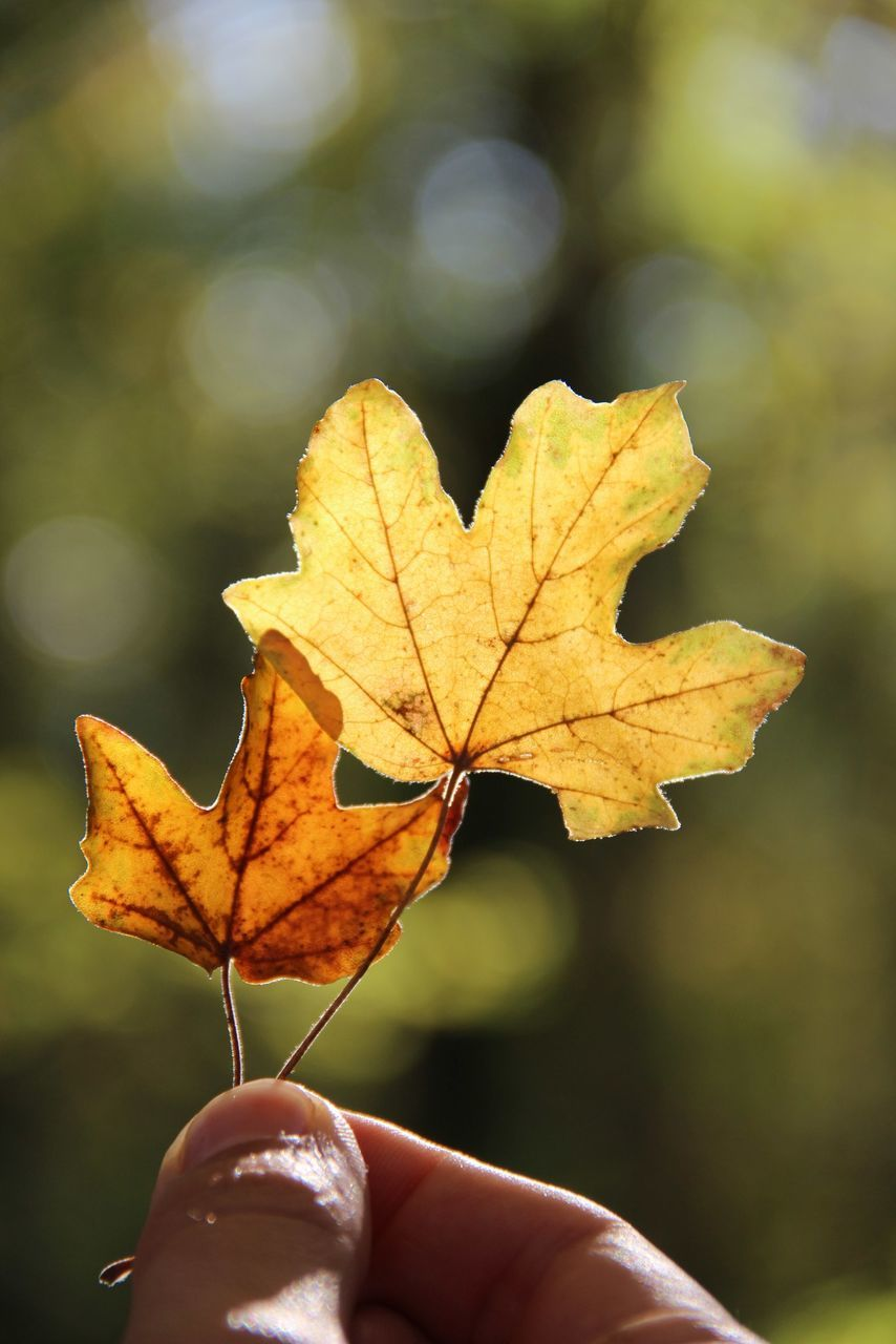 leaf, autumn, change, human hand, one person, real people, focus on foreground, human body part, outdoors, close-up, day, nature, maple, holding, maple leaf, lifestyles, beauty in nature, fragility, tree, people