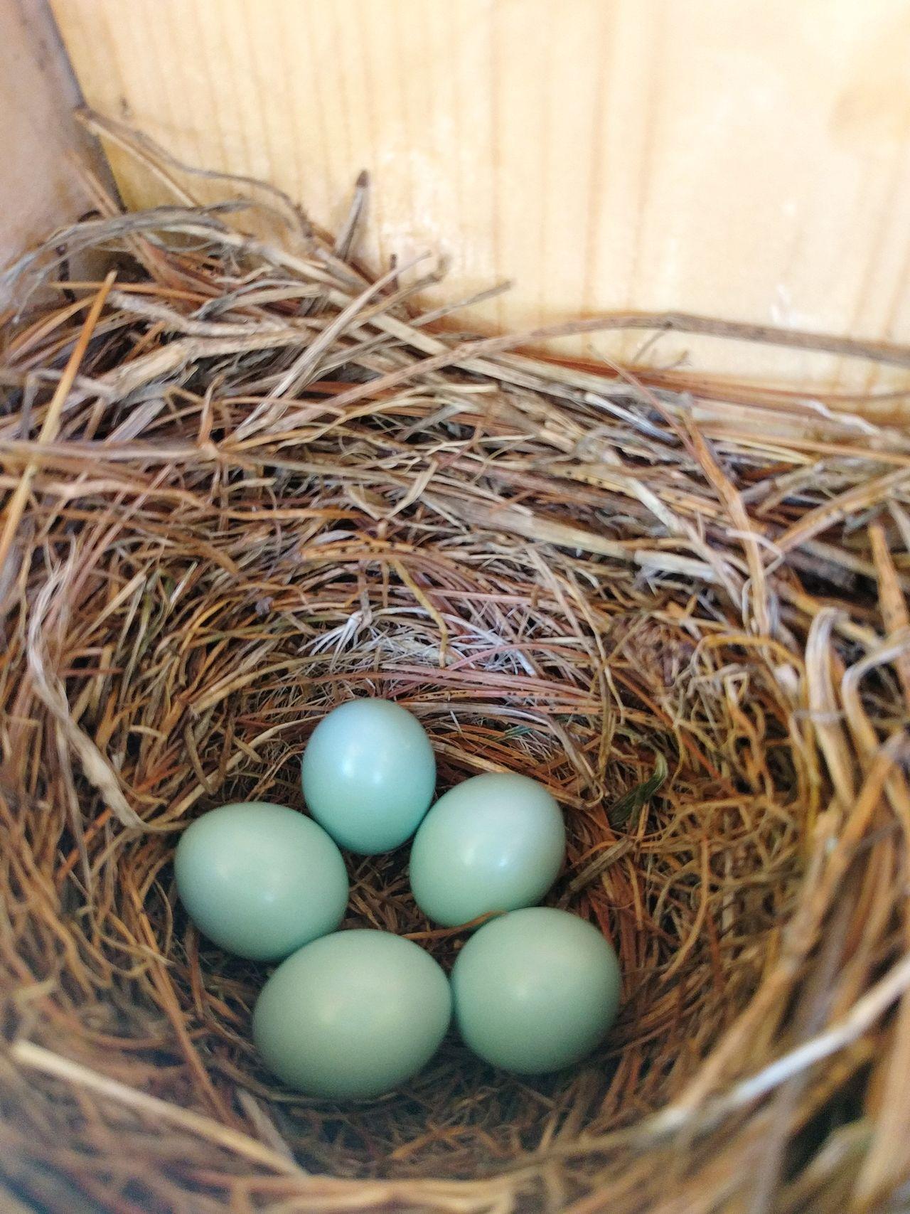 EyeEm Selects Egg Bluebird Eggs Nature Nest New Life Fragility Close-up Tolland, Connecticut