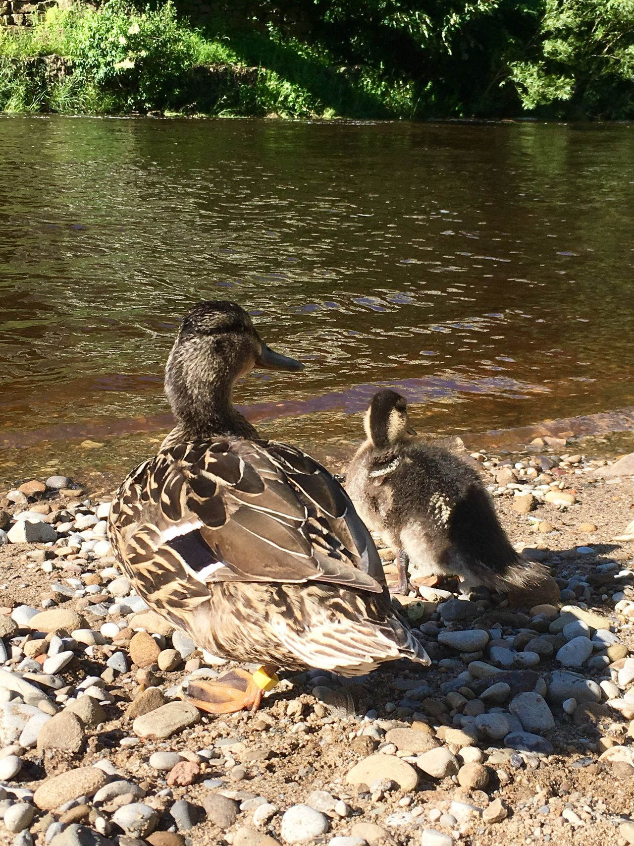 Ilkley Ilkley River River Wharfe Yorkshire Countryside Duck Duckling Mother And Ducklings Mother Duck With Duckling Mother Duck Nature Family Learning Teaching Sunshine Relaxing