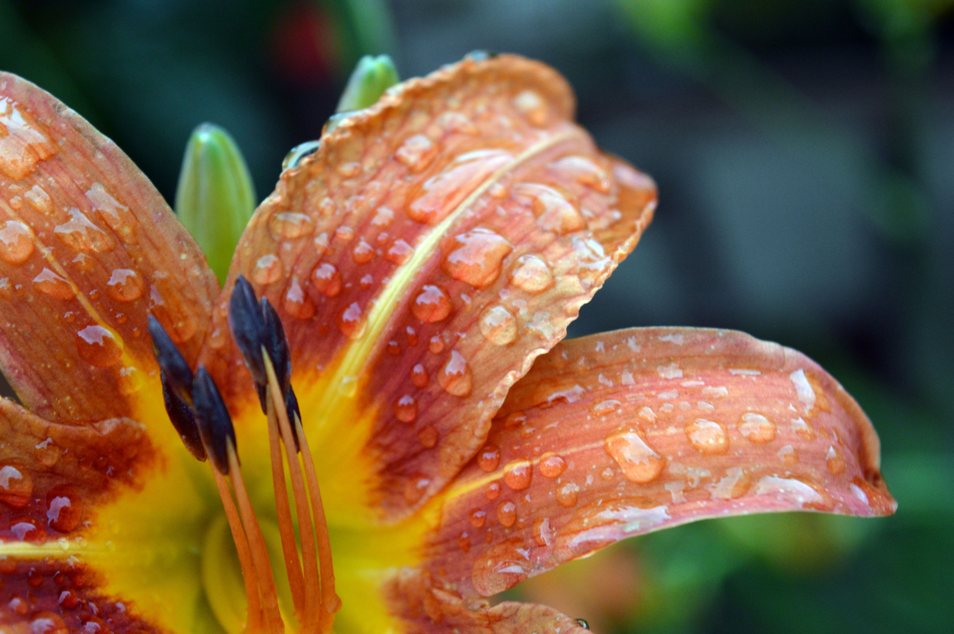nature, beauty in nature, flower, fragility, growth, close-up, wet, freshness, drop, plant, outdoors, petal, flower head, day, water, no people, day lily