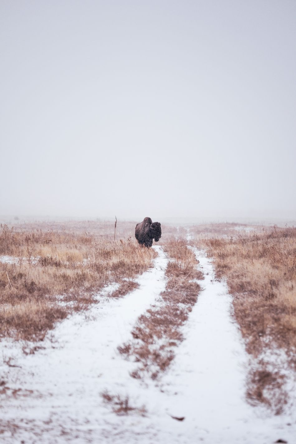 Bison Winter Nature No People Cold Temperature Snow Animal Themes Outdoors Animals In The Wild Tranquil Scene Scenics Moody Landscape Beauty In Nature Colorado Travel Destinations Wild Vista Adventure Winter Ice Freshness Bison