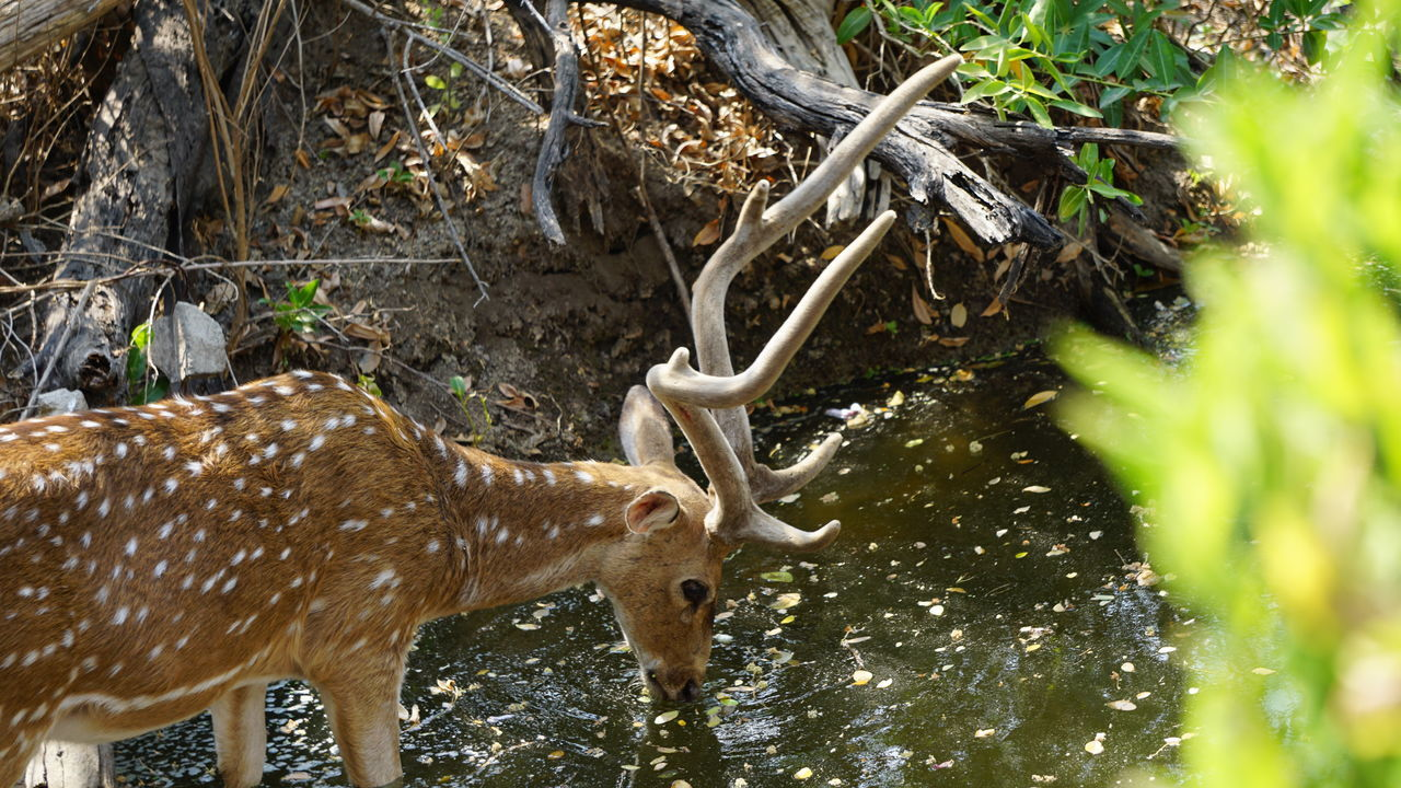 Quenching the thirst No People Outdoors Day Nature Close-up Tree Animal Themes Deer Moments Deers Nature Beauty Peace Deer Horns Deer Nwin Photography SonyAlpha6000 Nature National Park Skin Pattern Spotted Deer