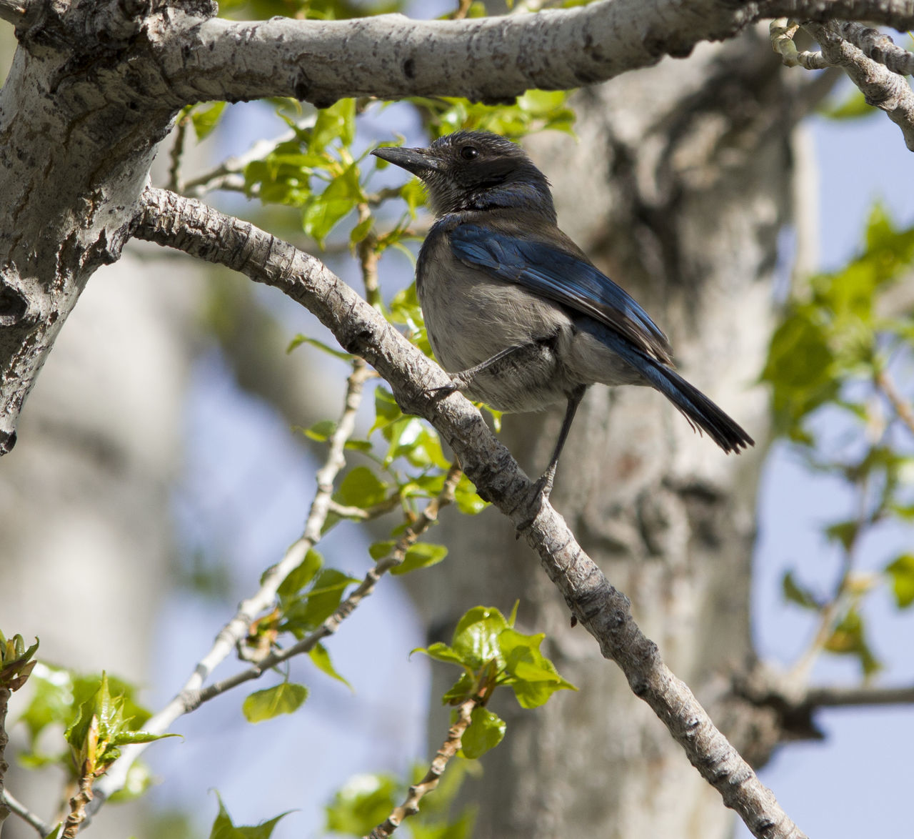 Animal Animal Themes Avian Beauty In Nature Bird Birds In Branches Branch Close-up Day Focus On Foreground Growth Low Angle View Nature No People Outdoors Perching Selective Focus Sky Tree Tree Trunk Twig Western Scrub Jay Wildlife
