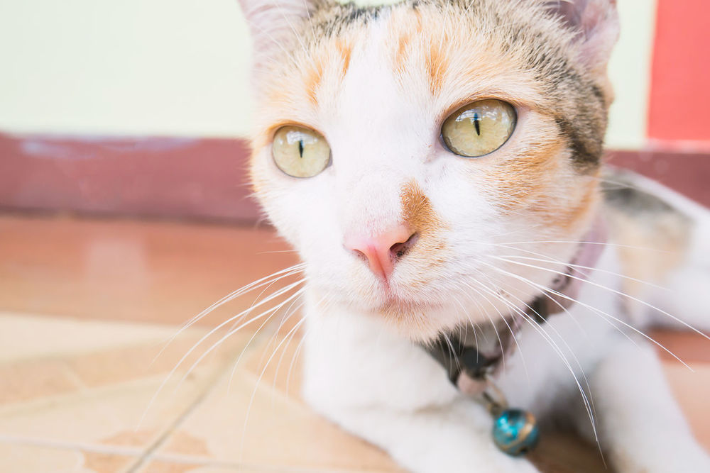Cute Pets Kitty Looking At Camera Animal Animal Themes Cat Close-up Cute Cats Day Domestic Animals Domestic Cat Feline Floor Focus On Foreground Indoors  Kitten Looking At Camera Mammal No People One Animal Pets Portrait Tricolor Cat Whisker