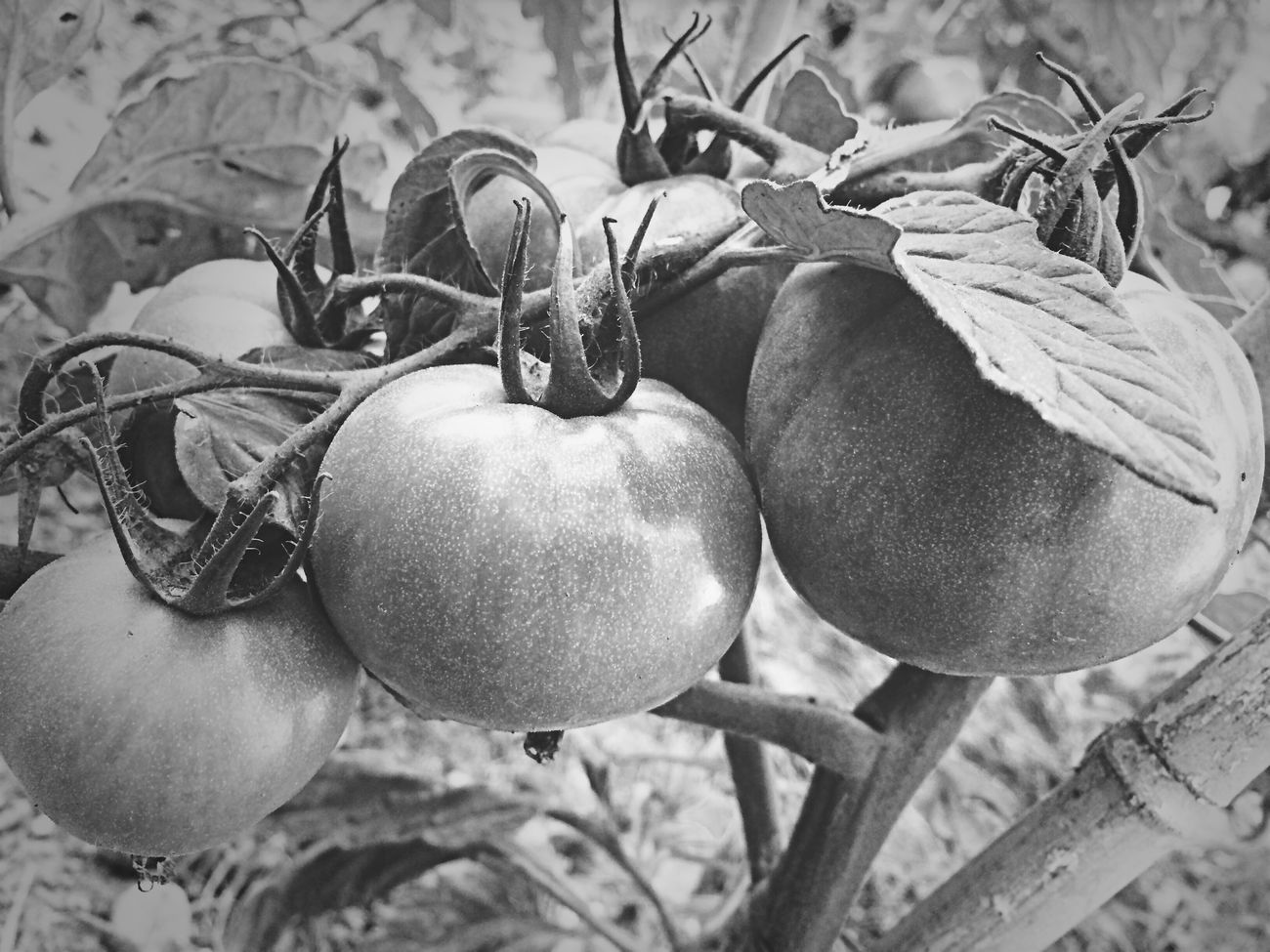 Monochrome Blackandwhite Tomato Vegetables