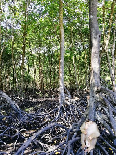 Tree Nature Growth Green Color Day Beauty In Nature Outdoors Forest Scenics Mangrove Forest Mangrove Swamp Mangrove Life Monkey Tranquility Malaysia Truly Asia Taking Rest Huawei P9 Leica The Great Outdoors - 2017 EyeEm Awards EyeEm Nature Lover