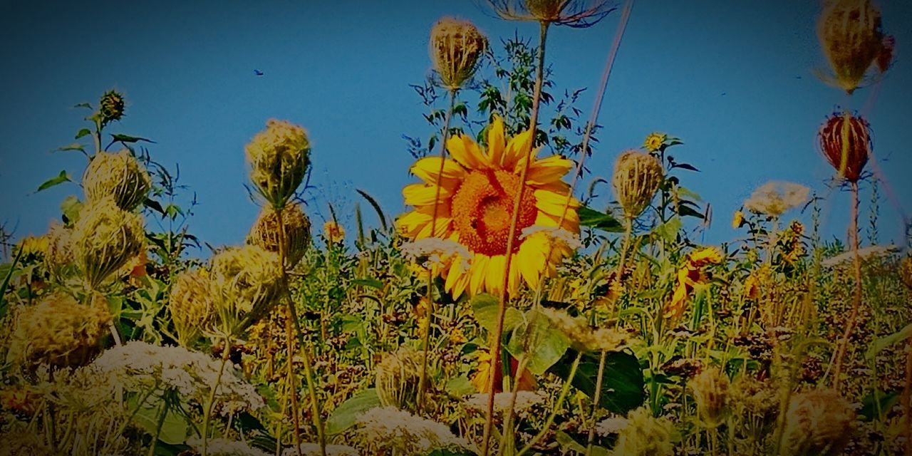 Growth Flower Nature Plant Beauty In Nature Sunflower🌻 Bee 🐝 Close-up Freshness Flower Head Iowa Life EyeEm No People Summertime Outdoors Freshness Plant Iowa_life