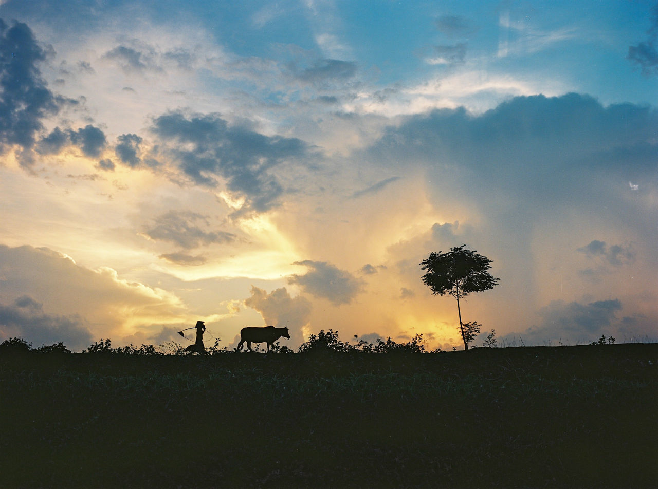 sunset, nature, sky, tree, silhouette, beauty in nature, cloud - sky, field, tranquil scene, scenics, tranquility, landscape, growth, outdoors, agriculture, no people, rural scene, animal themes, domestic animals, day, mammal