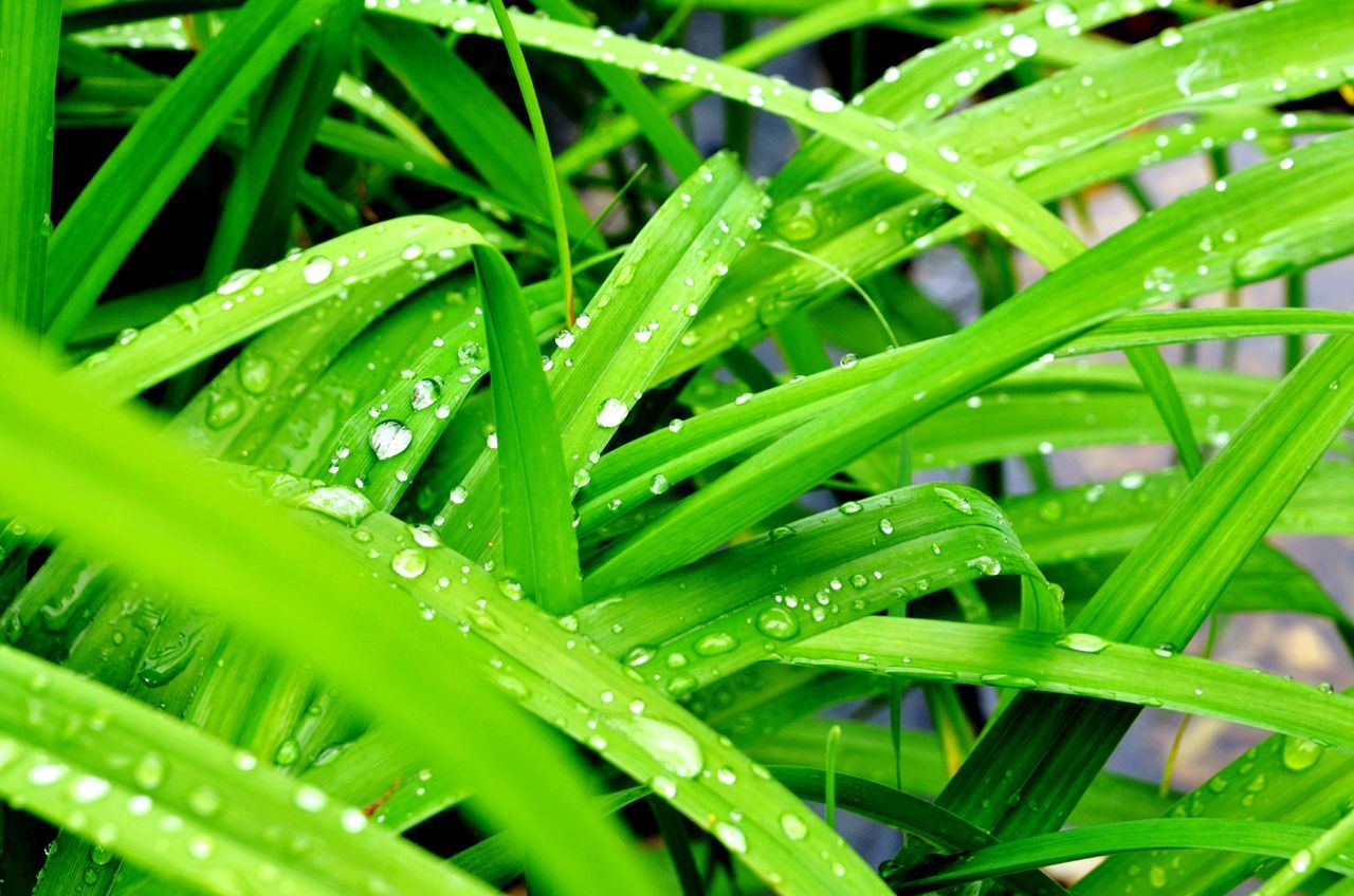 Green Color Nature Drop Wet Plant Leaf Grass Water Freshness Beauty In Nature Outdoors Leaves Rainy Raindrops Green Lakeside Close-up Nature Nature On Your Doorstep Todayphotography From My Point Of View Capture The Moment Eyeemphotography Naturephotography Gardenphotography