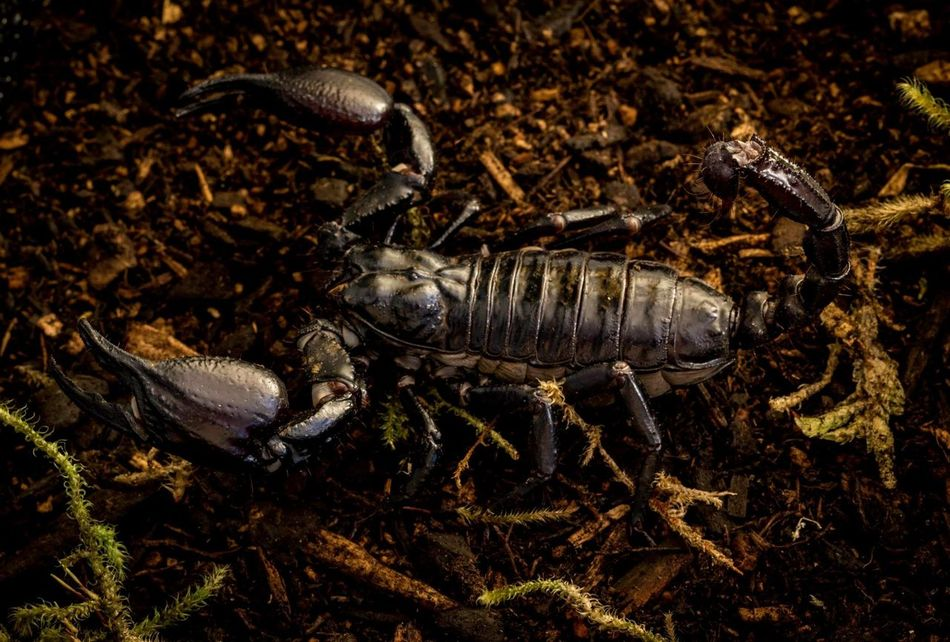 Beautiful stock photos of scorpion, Animal, Animal Themes, Animals In The Wild, Close-Up