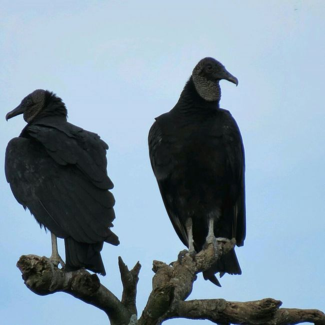 Birds Urubu