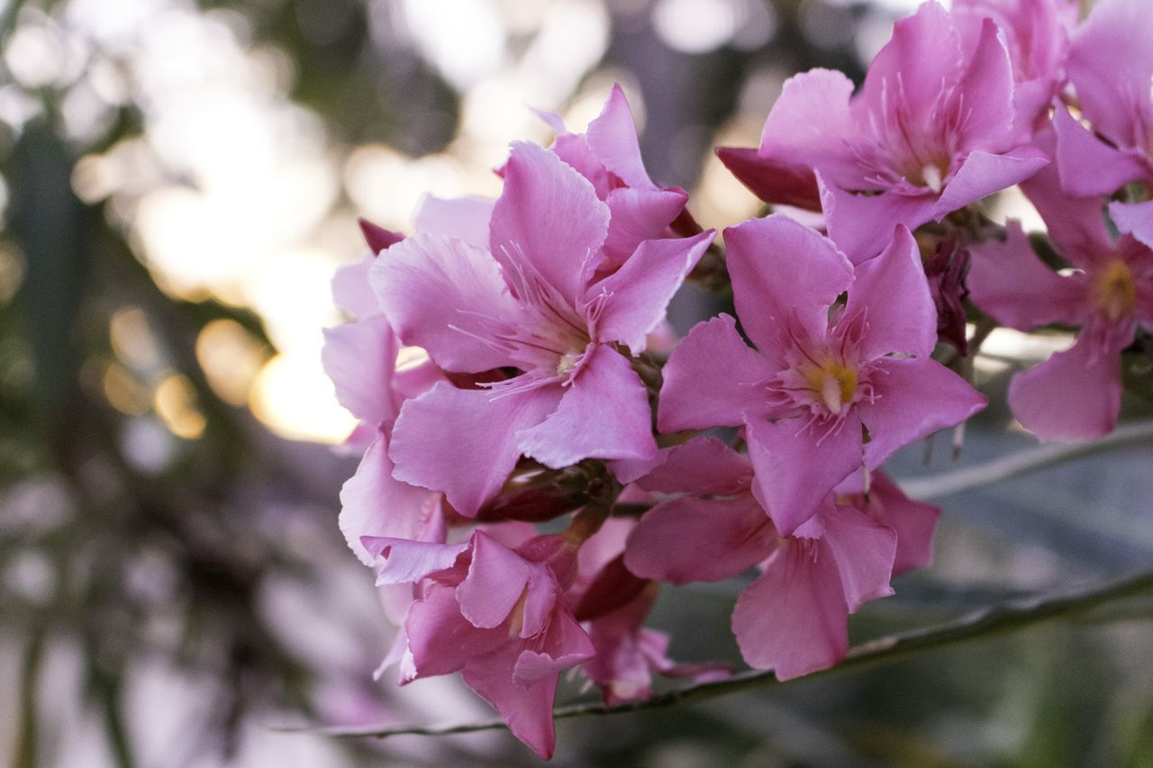 flower, beauty in nature, fragility, nature, petal, growth, freshness, no people, pink color, close-up, day, blossom, outdoors, springtime, tree, branch, flower head