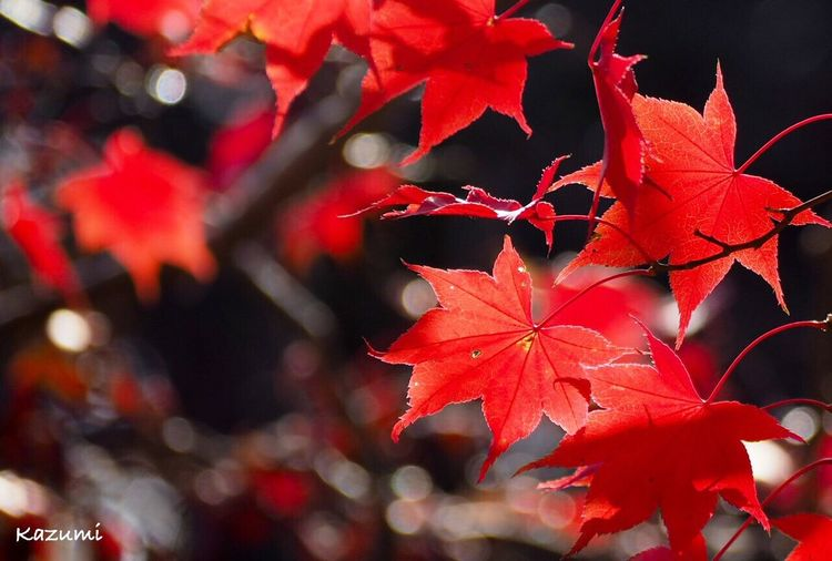 紅葉撮りまくりの秋🍂🍁満足~😆💕 Autumn Leaf Change Maple Leaf Red Maple Tree Nature Maple Beauty In Nature Day Outdoors No People Tree Close-up もみじ Autumn🍁🍁🍁 生田緑地 Kanagawa Japan