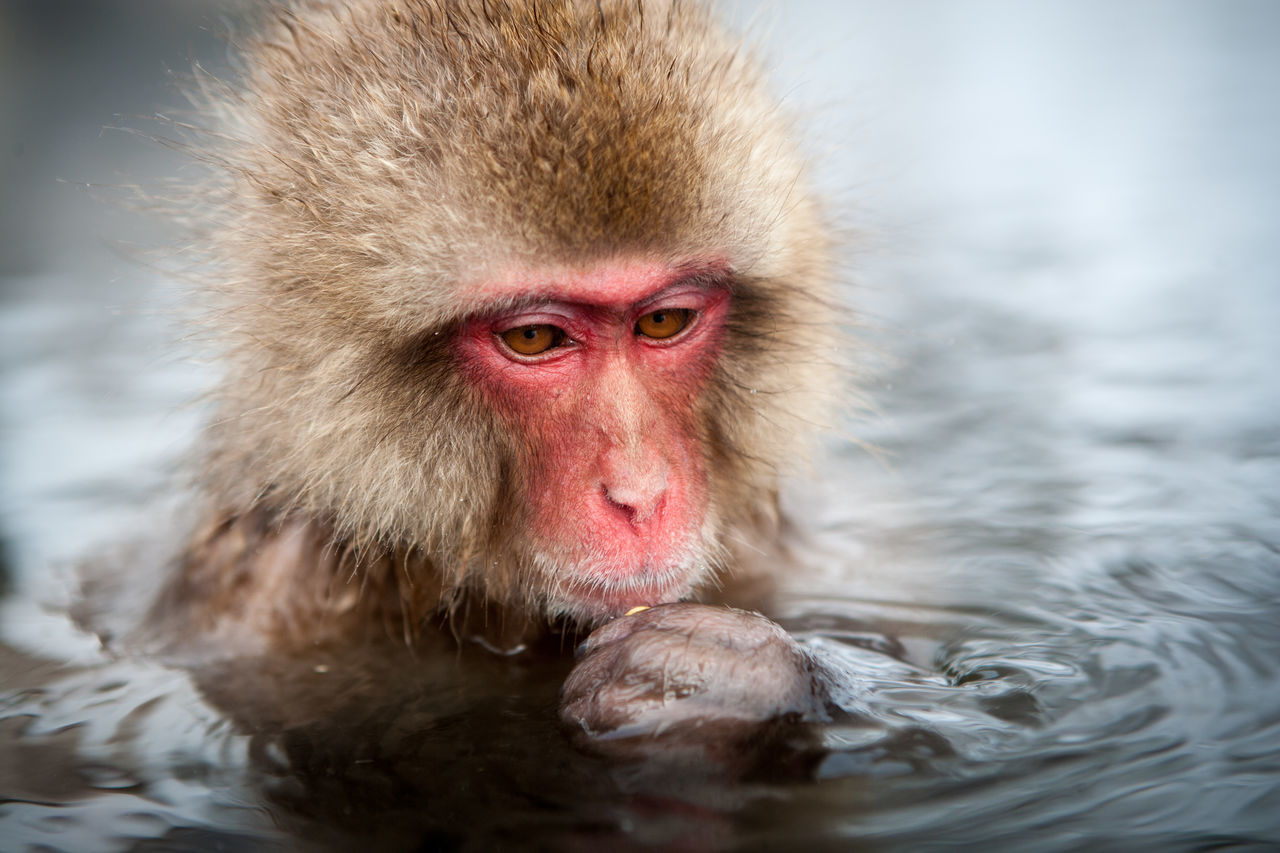 Young snow monkey (Japanese macaque) looking pensive in hot springs, Jigokudani National Park, Japan Japan Lonely Snow Monkey Thinking Animal Themes Animal Wildlife Animals In The Wild Close-up Cold Temperature Focus On Foreground Hot Spring Japanese Macaque Mammal Monkey Nature No People One Animal Outdoors Pensive Mood Portrait Sad Face Snow Monkey Baby Water Wet Winter