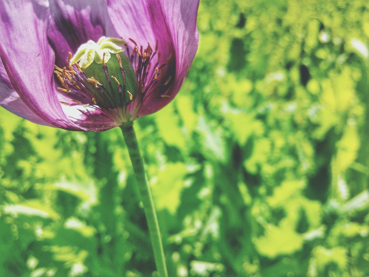 Opium Poppies Poppy Flower Papaver Somniferum Purple Flowers Macro Agriculture Garden Green Green Background