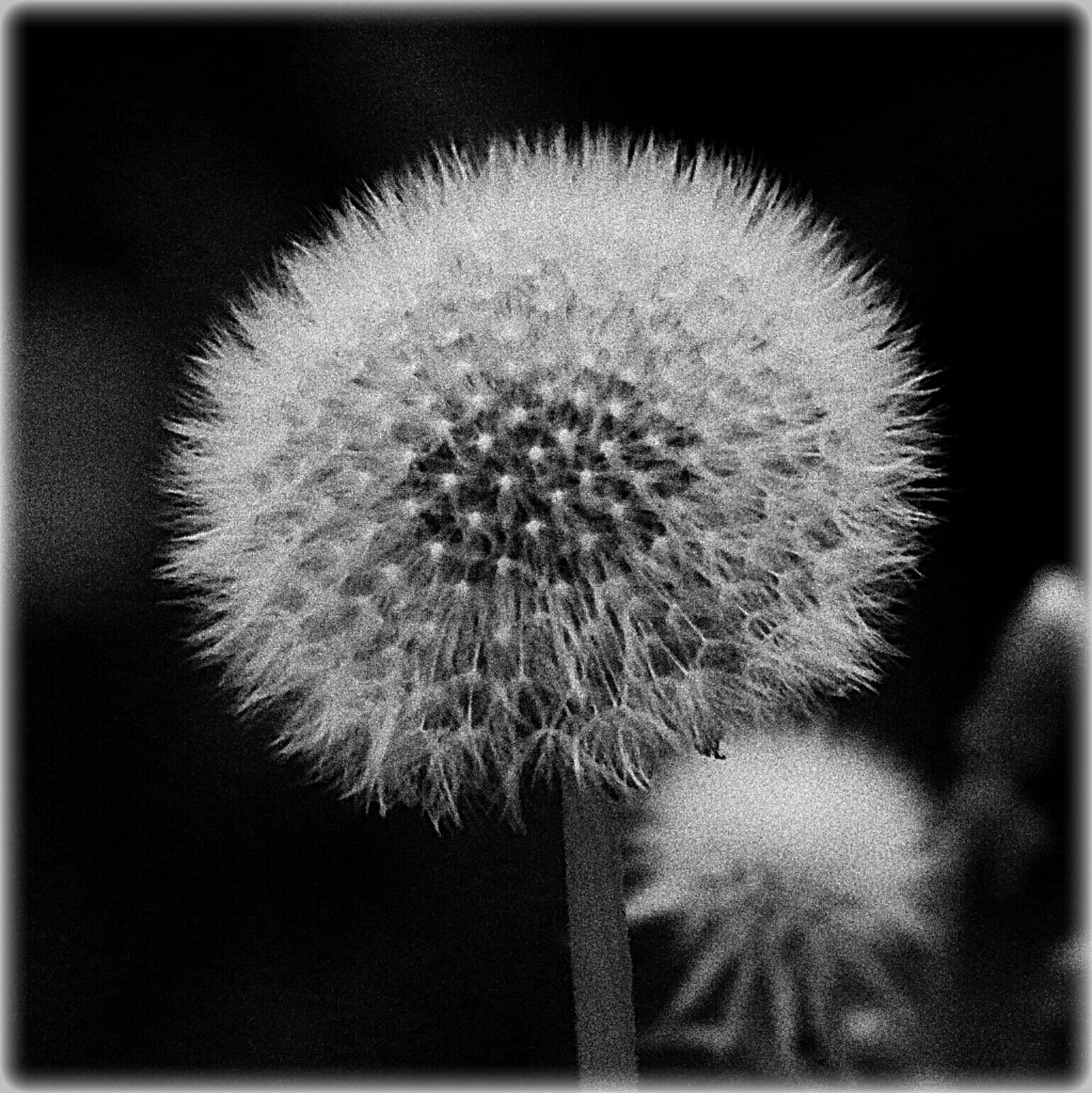 dandelion, flower, flower head, fragility, growth, freshness, close-up, beauty in nature, nature, single flower, softness, white color, auto post production filter, wildflower, focus on foreground, plant, stem, dandelion seed, uncultivated, selective focus