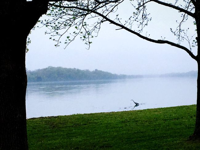 Great Blue Heron in the fog. Birds Fog Lake Nature Hugging A Tree EyeEm Best Shots Open Edit Eye4photography