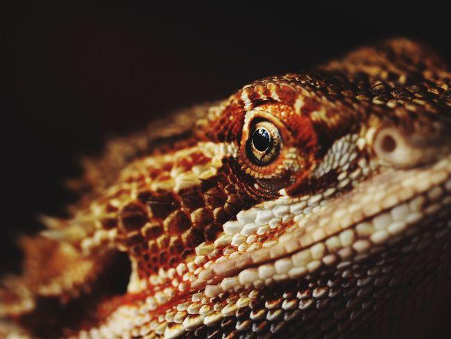 ケロリン Bearded Dragon Pogona