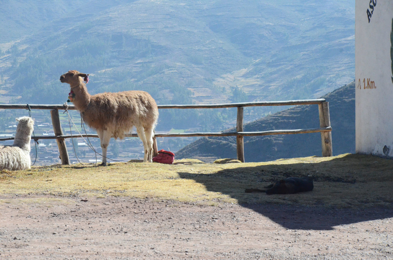 Beautiful stock photos of llama, Animal Themes, Animals In The Wild, Beauty In Nature, Day