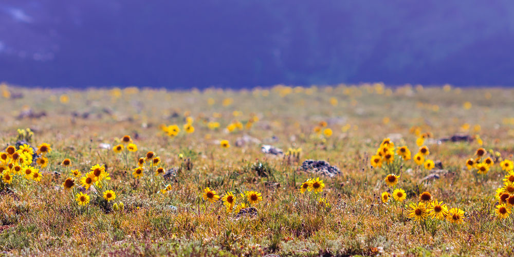 Beauty In Nature Blooming Field Flower Landscape Nature No People Outdoors Rocky Mountain National Park Scenics Selective Focus Toll Memorial Trail Tundra Communities Trail Yellow The Great Outdoors - 2016 EyeEm Awards Nature's Diversities The Essence Of Summer