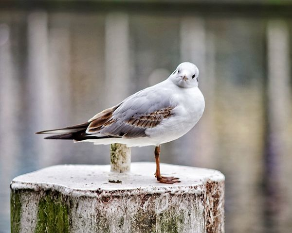 Sceptical Gull EyeEm Selects Perching Bird One Animal Animals In The Wild Focus On Foreground Animal Themes Animal Wildlife Day No People Outdoors Nature Seagull Close-up
