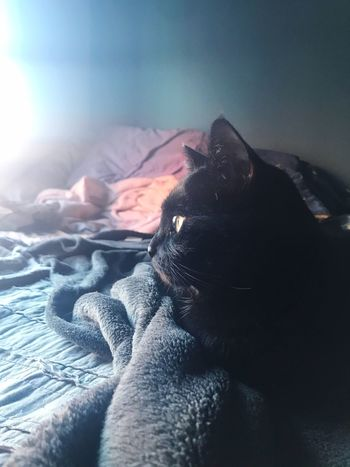 Mojo Cat Black Cat One Animal Animal Themes Pets Domestic Animals Mammal No People Indoors  Relaxation Bed Blankets Soft Light Close-up Day Profile Green Eyes Kitty