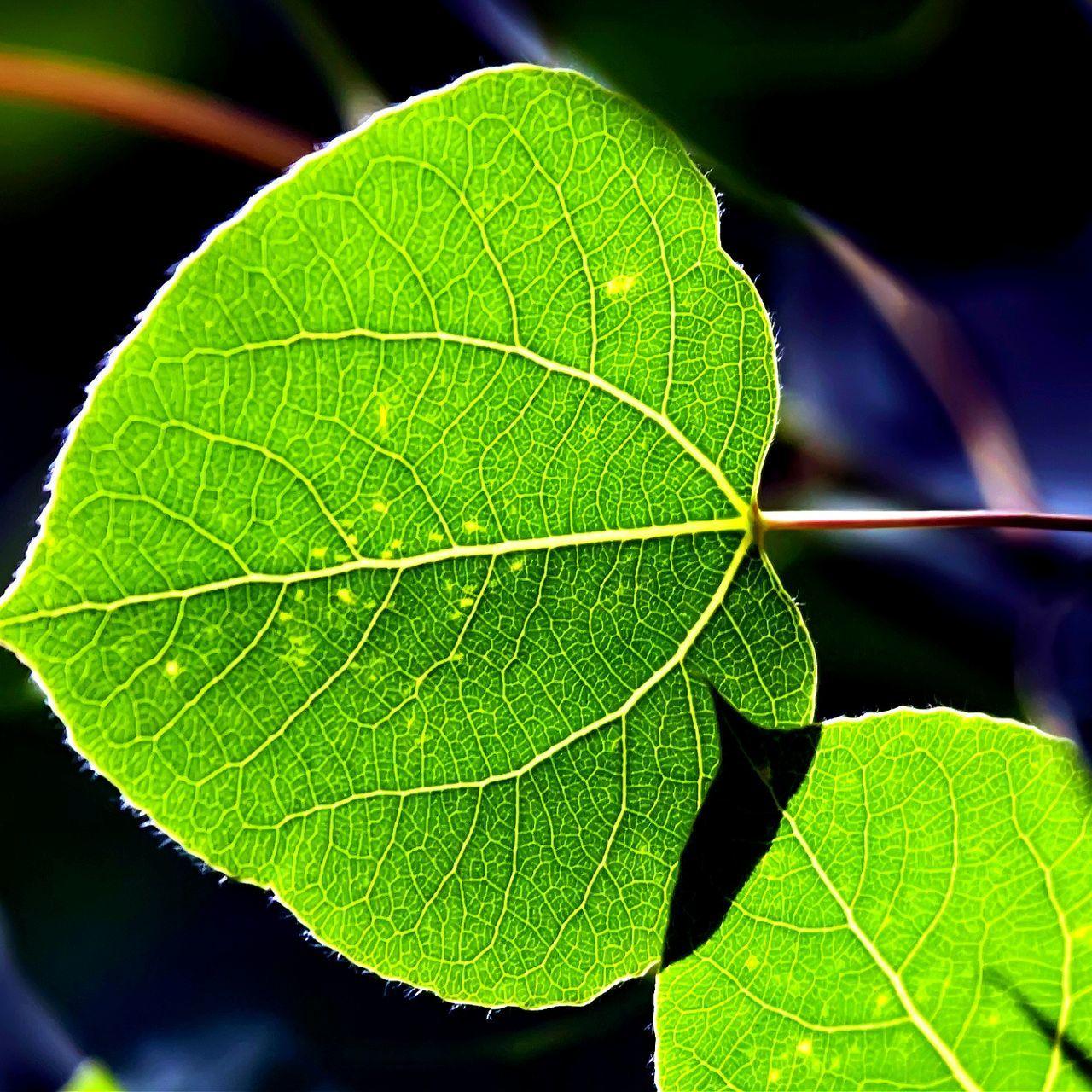 Aspen leaf. www.DonAshcraft.com Aspen Fine Art Photography Aspen Trees Aspen Leaves Aspen, Colorado Aspen Leaf AspenColorado Aspen Tree Aspen Colorado