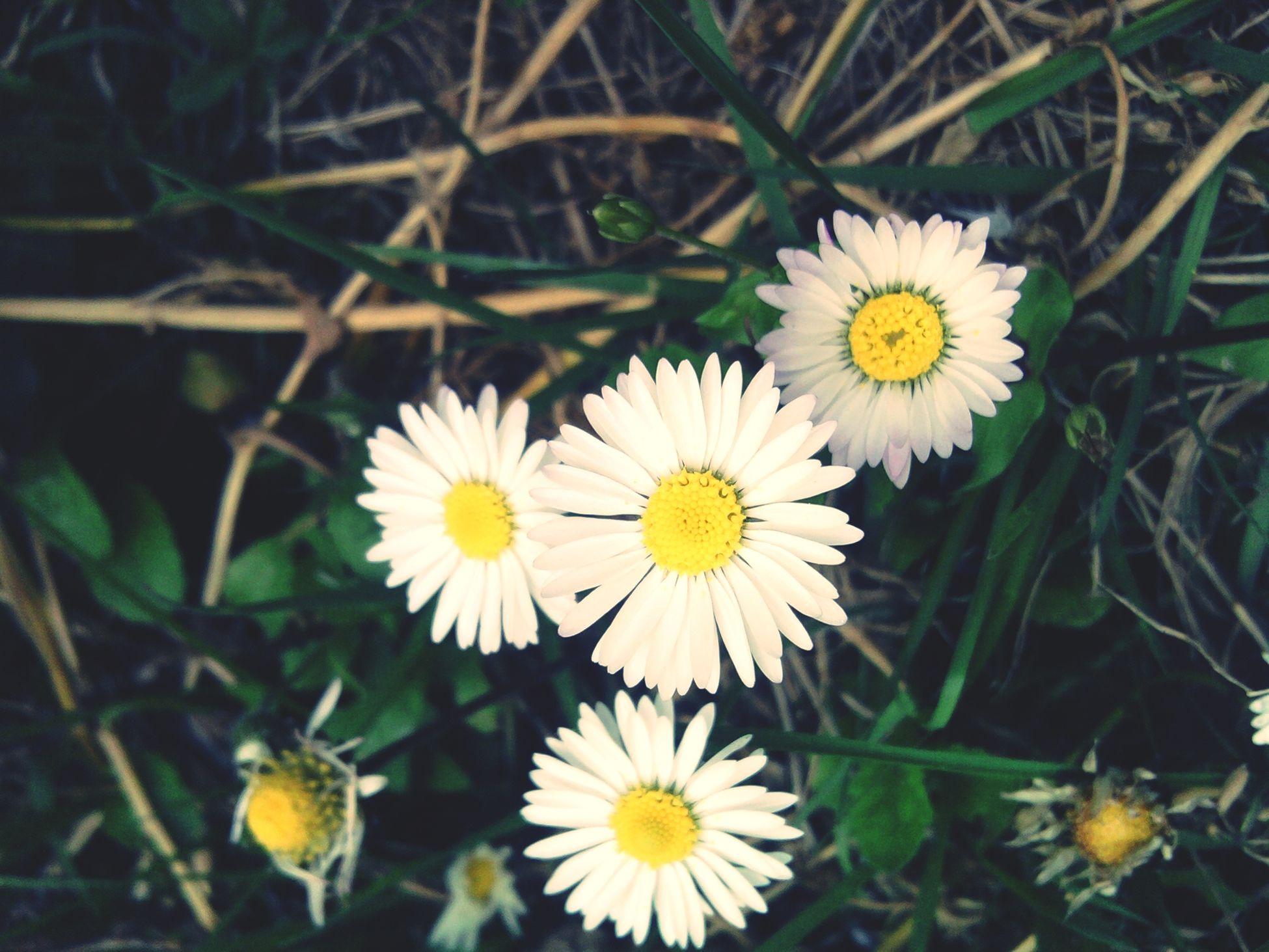 Margherite Flowers M'ama Non M'ama