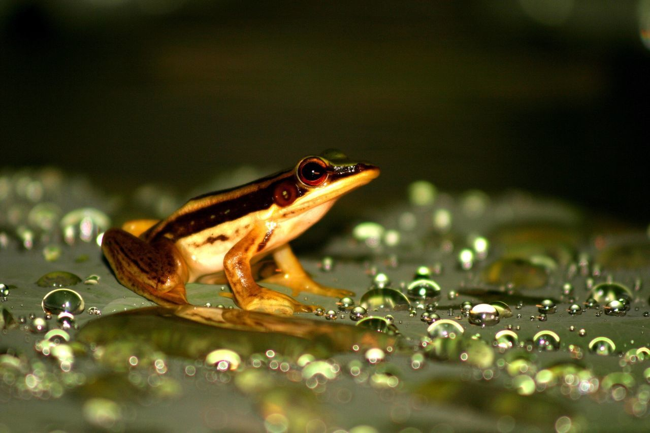 Beautiful stock photos of frog, Animal Themes, Animals In The Wild, Beauty In Nature, Close-Up