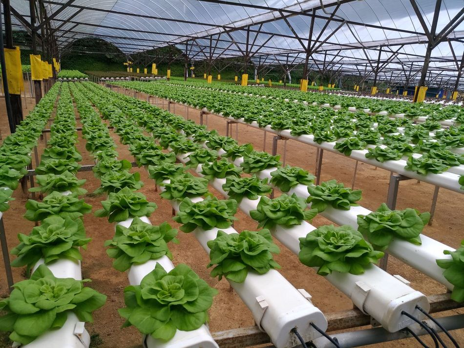 Crops Agriculture Growth Plant Greenhouse Green Color Abundance Plant Nursery Nature Beauty In Nature Agriculture Freshness No People Indoors  Day Malaysia Growing Plants Growing Food Vegan Detail Origins Food New Begginings The Purist (no Edit, No Filter) Phone Photography