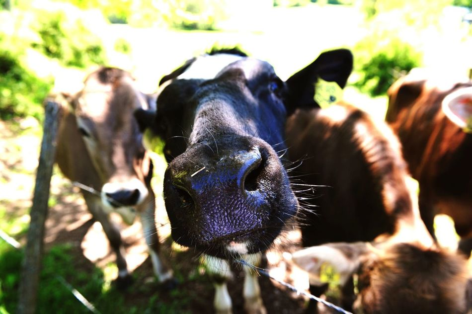 Cheese! Focus On Foreground Selfies Cows Adickes Hi There! Hi There :) Funny Moments Animals Animal Head  FUNNY ANIMALS Animal Funny Pics