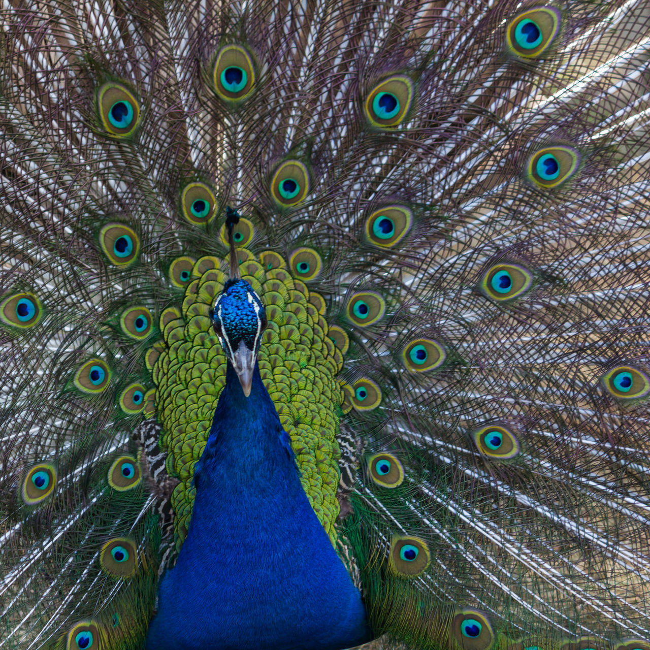 Animal Animal Themes Animal Wildlife Animals In The Wild Beauty In Nature Beauty In Nature Bird Blue Close-up Day Fanned Out Feather  Nature Nature No People One Animal Outdoors Peacock Peacock Blue Peacock Feather Peacock Feathers
