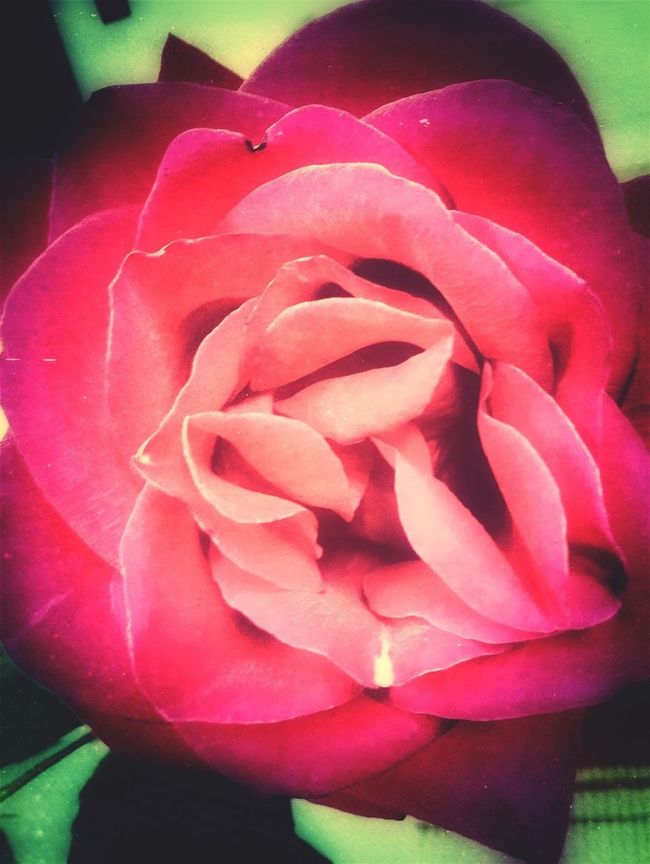 Roses Red Flowerporn EyeEm Nature Lover