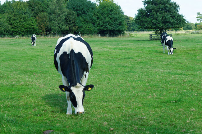 Cattle Cow Cows Cows In A Field English Cows Field Grazing Cattle Meadow Three Cows
