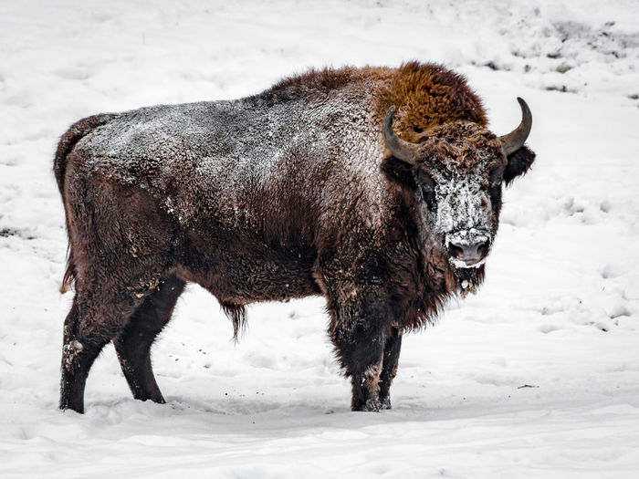 Animal Animal Themes Bison Bison In Winter Brown Cold One Animal Zoology