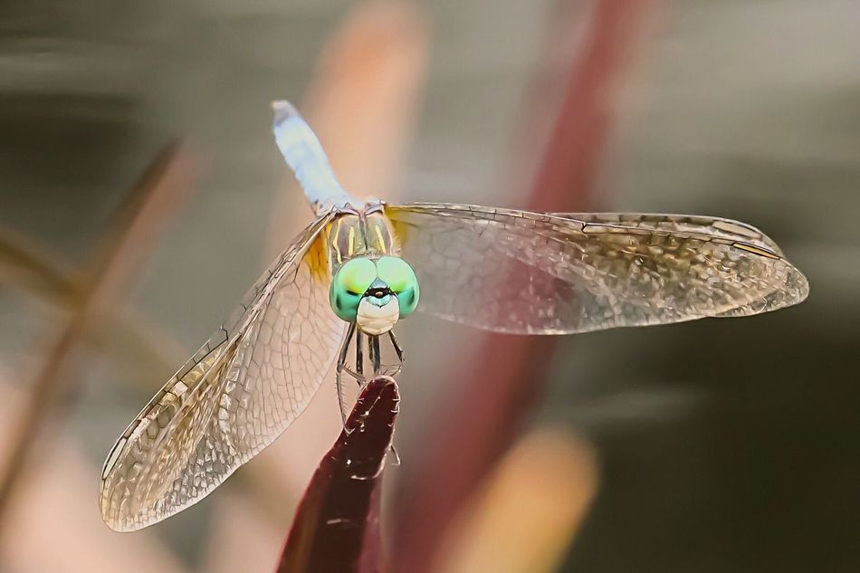 Dragonfly at Missouri Botanical Garden. Nature Flower Outdoors Missouri Botanical Garden Colour Of Life Carolbock Close-up Dragonfly Insects