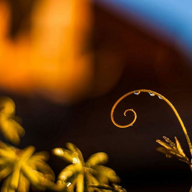 Curly Instagood Igers IGDaily Instapic Nature Plant Jasmine Dew Rain Bokeh Bokehlicious Closeup Macro Garden Curly