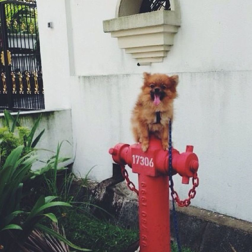 I wanna be a fireman In a hook and ladder truck Saving all the buildings When a fire has stuck. Minipom Pompom Pomeranian Dog cutefireman
