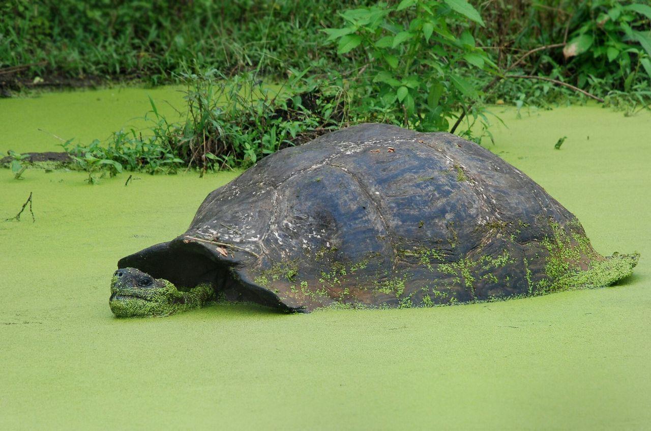 Galapagos Islands Ecuador Giant Tortoise Tortoise Green
