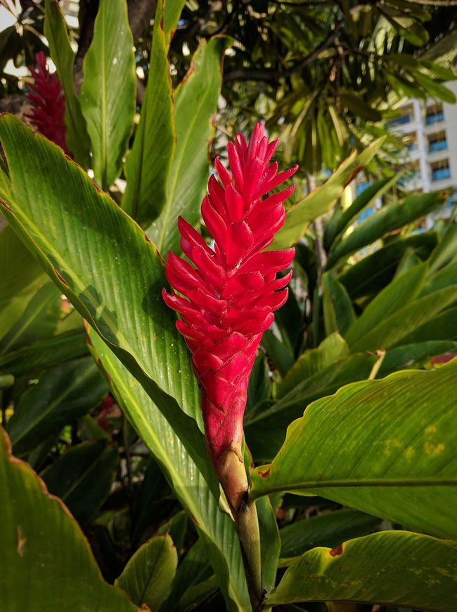 red ginger interlude Flower Beauty In Nature Vibrant Color Red Tropical Beauty No People EyeEm Gallery Mobile Photography Beauty In Nature Flowers_collection Flowers Red Ginger Flower Red Ginger Tropical Flowers