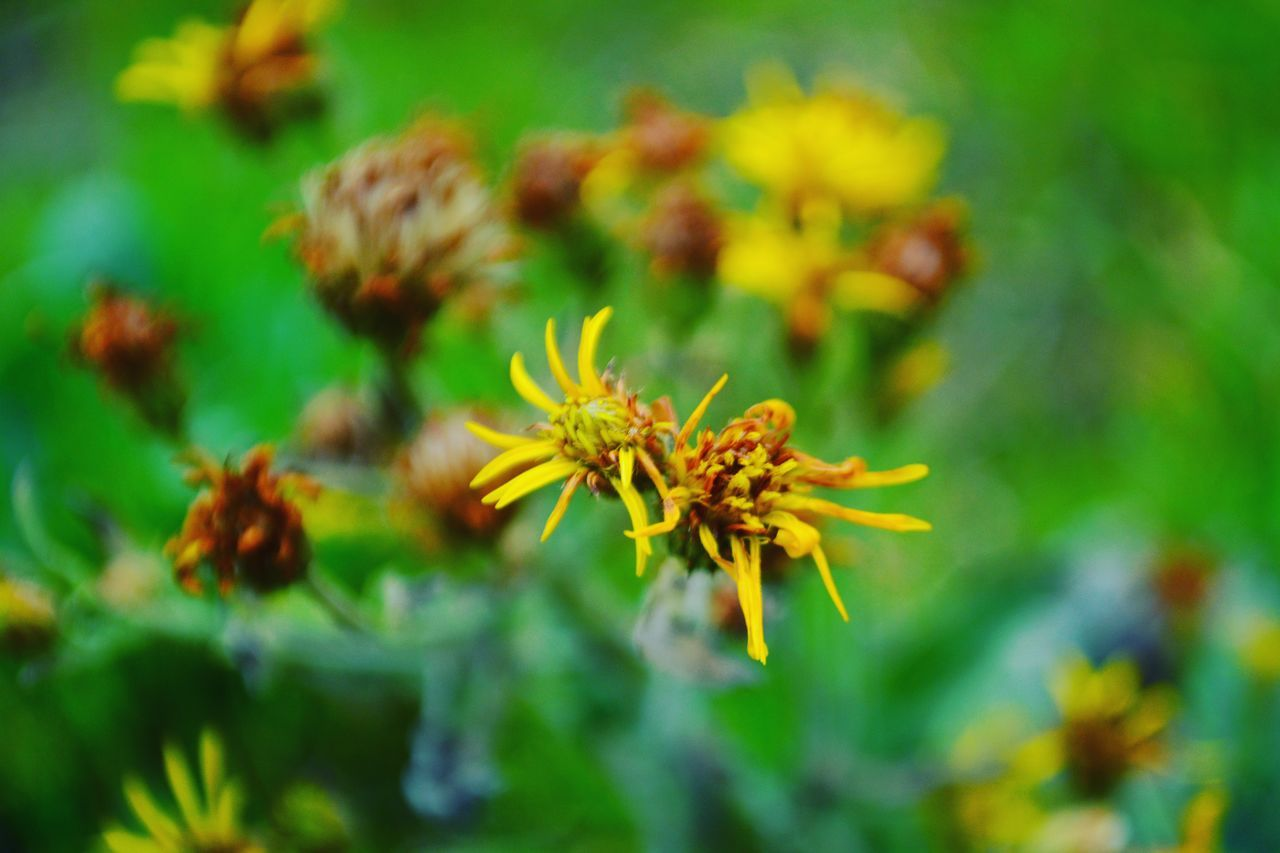 flower, growth, nature, plant, petal, fragility, beauty in nature, flower head, freshness, no people, day, yellow, outdoors, close-up, blooming