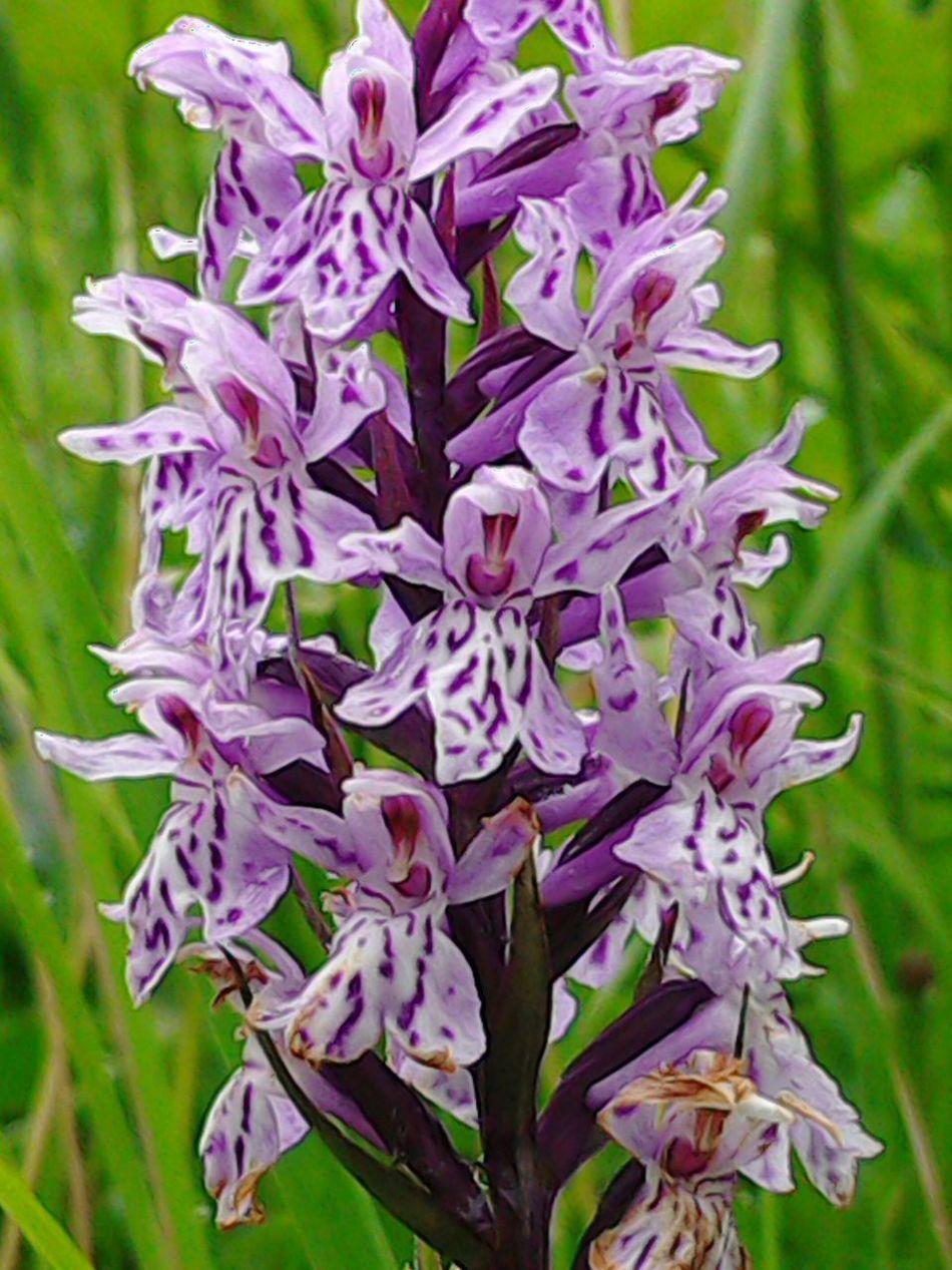 wild orchid Mountainflowers Rare Sauris Flowers Rare Plants