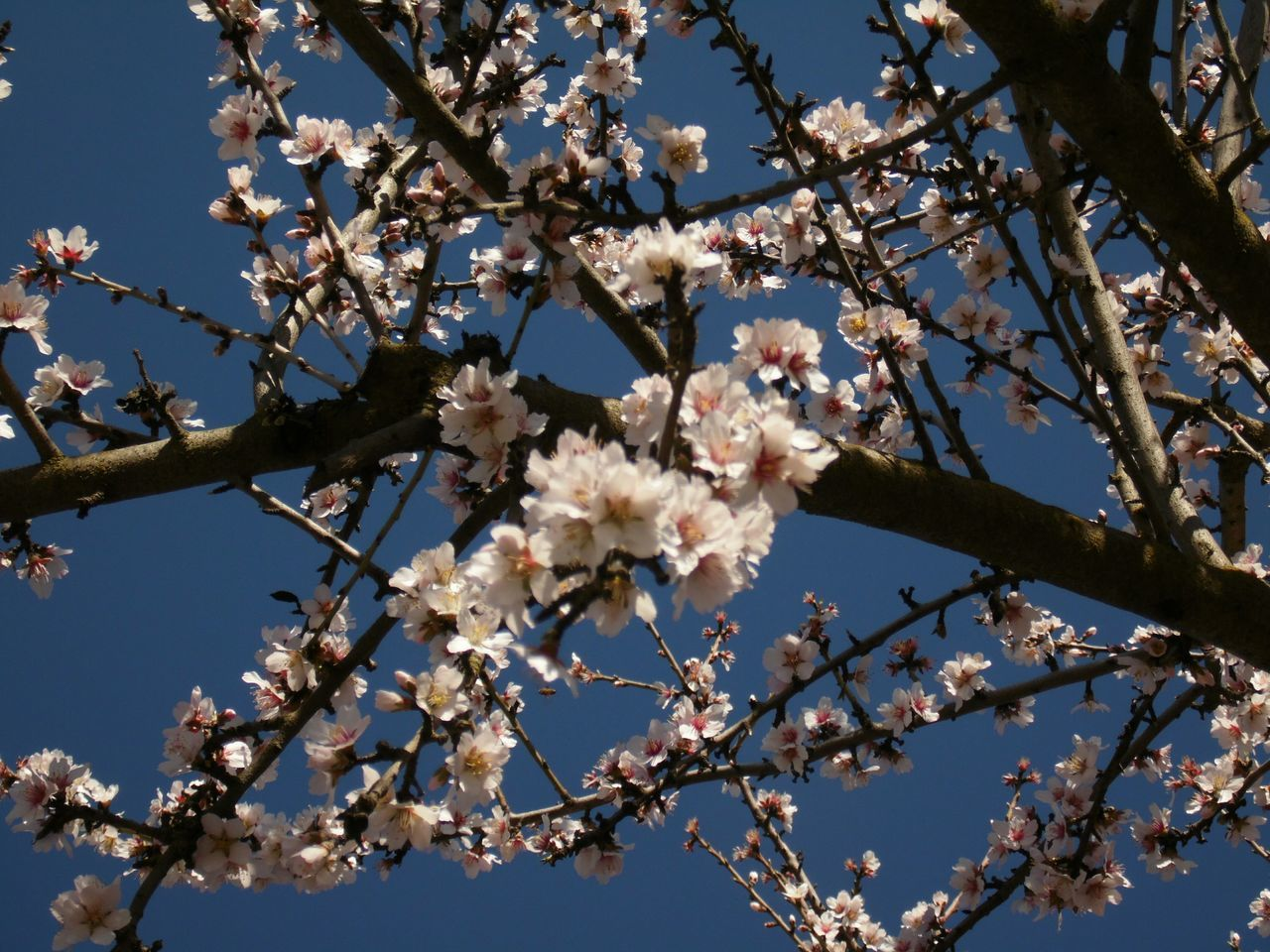 The Purist (no Edit, No Filter) Spring Day Lookingup In Bloom Pretty In Pink Blossoms  Almond Orchard Hugging A Tree