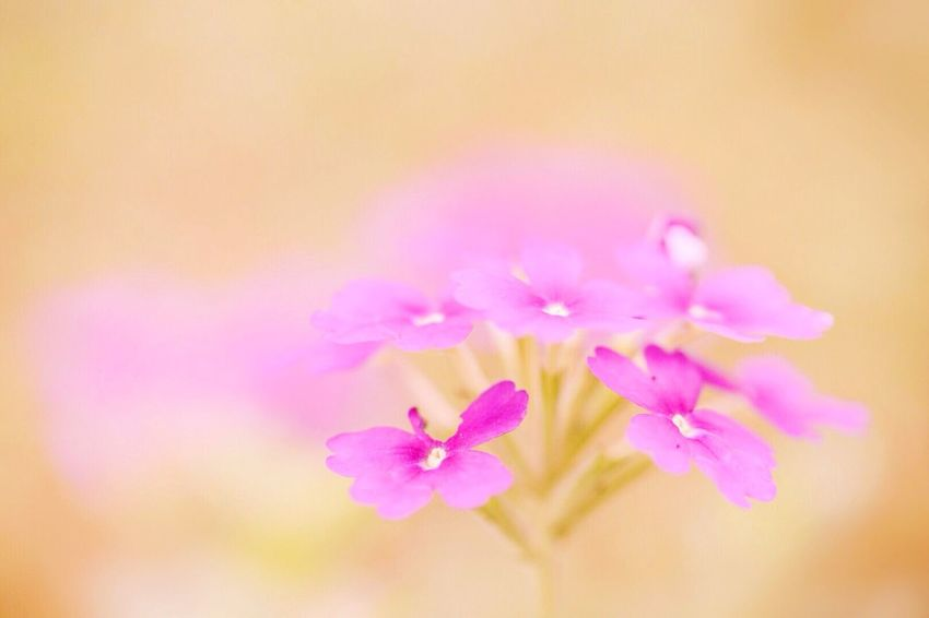 Flower Fragility Nature Close-up Beauty In Nature Freshness Pink Color Growth Petal No People Flower Head Outdoors Day
