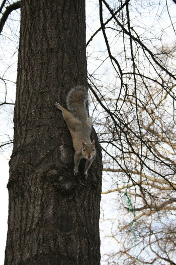 Close Up Squirrel Close-up Day Outdoors Posing Posing Squirrel Squirrel Tree Tree Trunk Vertical Squirrel Wildlife Tuscaloosa University Of Alabama Quad Tuscaloosa, Alabama