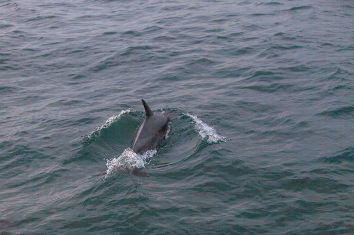A pod of short beaked common dolphin Delphinus jumps and swims in front of a boat off the coast of Balboa Island in the Pacific Ocean California Day Delphinus Dolphin Dolphin Pod Nature Pacific Rippled Sea Short Beaked Tranquility Water Waterfront
