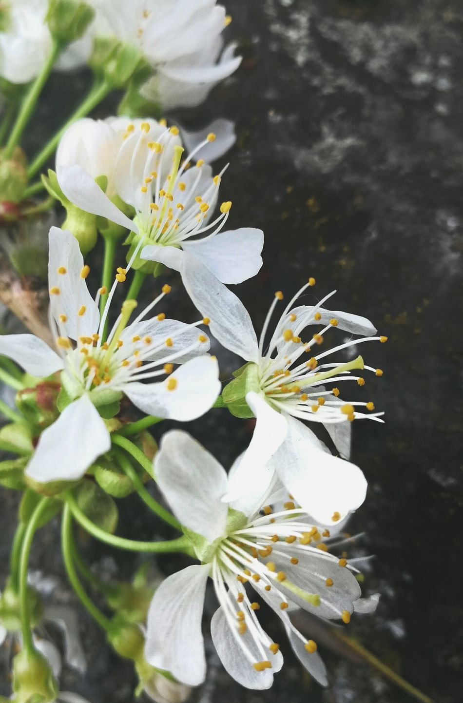 Shortlived Flower Flowers Flower Collection Close-up Check This Out Beauty In Nature Taking Photos Sakura Blossom Cherry Blossoms Cherry Blossom Blossoms  Spring Springtime Spring Flowers White Pure Nature Nature_collection Nature Photography Petal Delicate EyeEm Best Shots Closeup