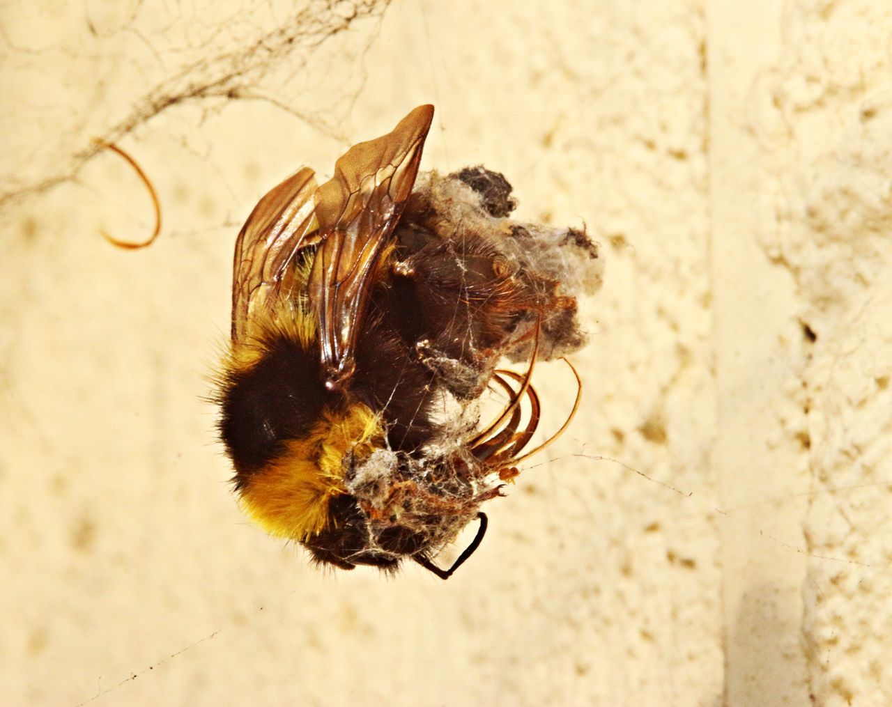 Animal Wildlife Bee Close-up Dead Bee Decaying FirstEyeEmPic Insect Nature Spider Kill Spider Web