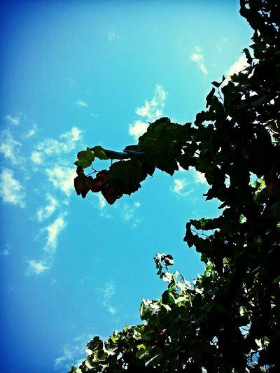 grape ))