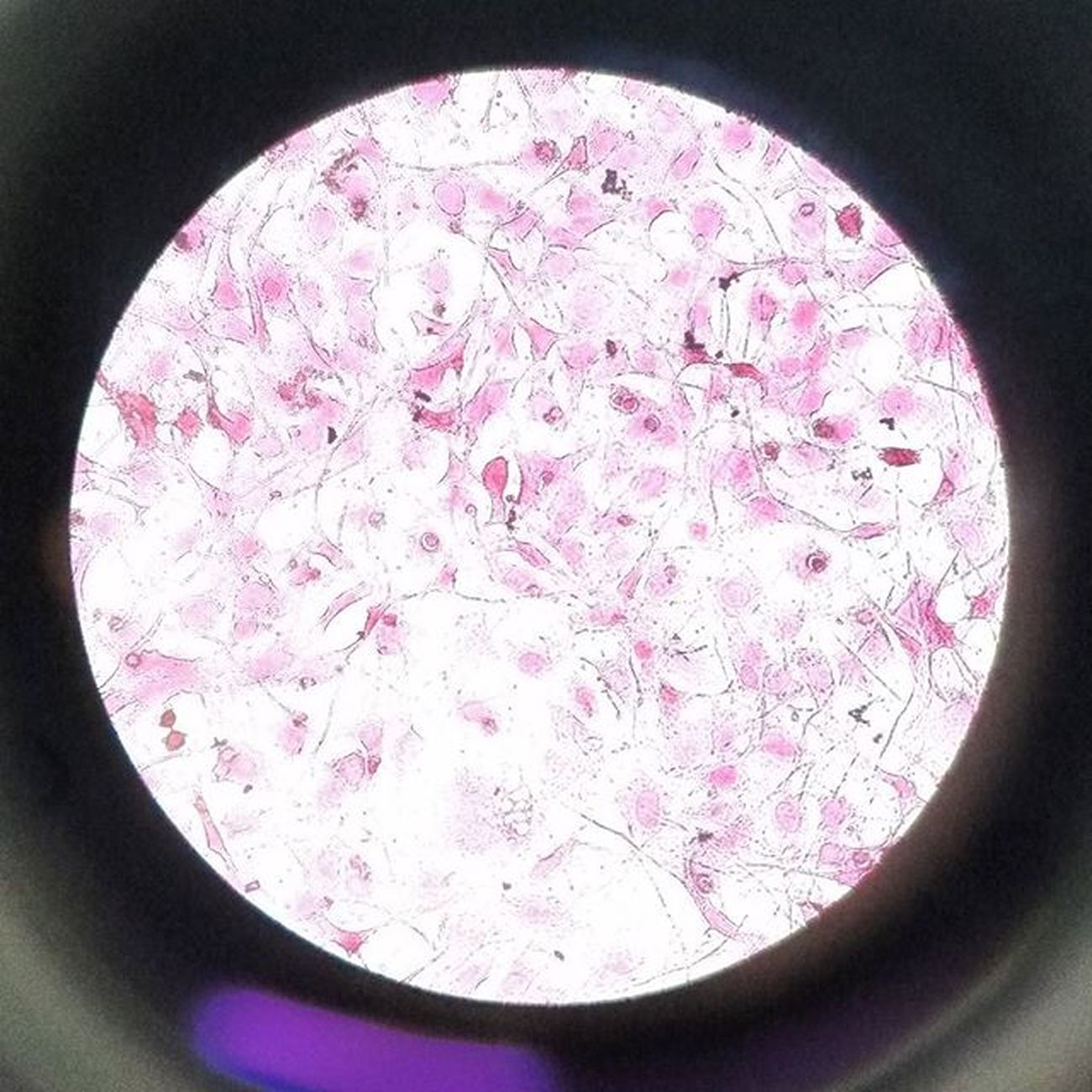 Fibroblasti Eosina Ematossilina Lab Microscopia Awesome_shots 🔬